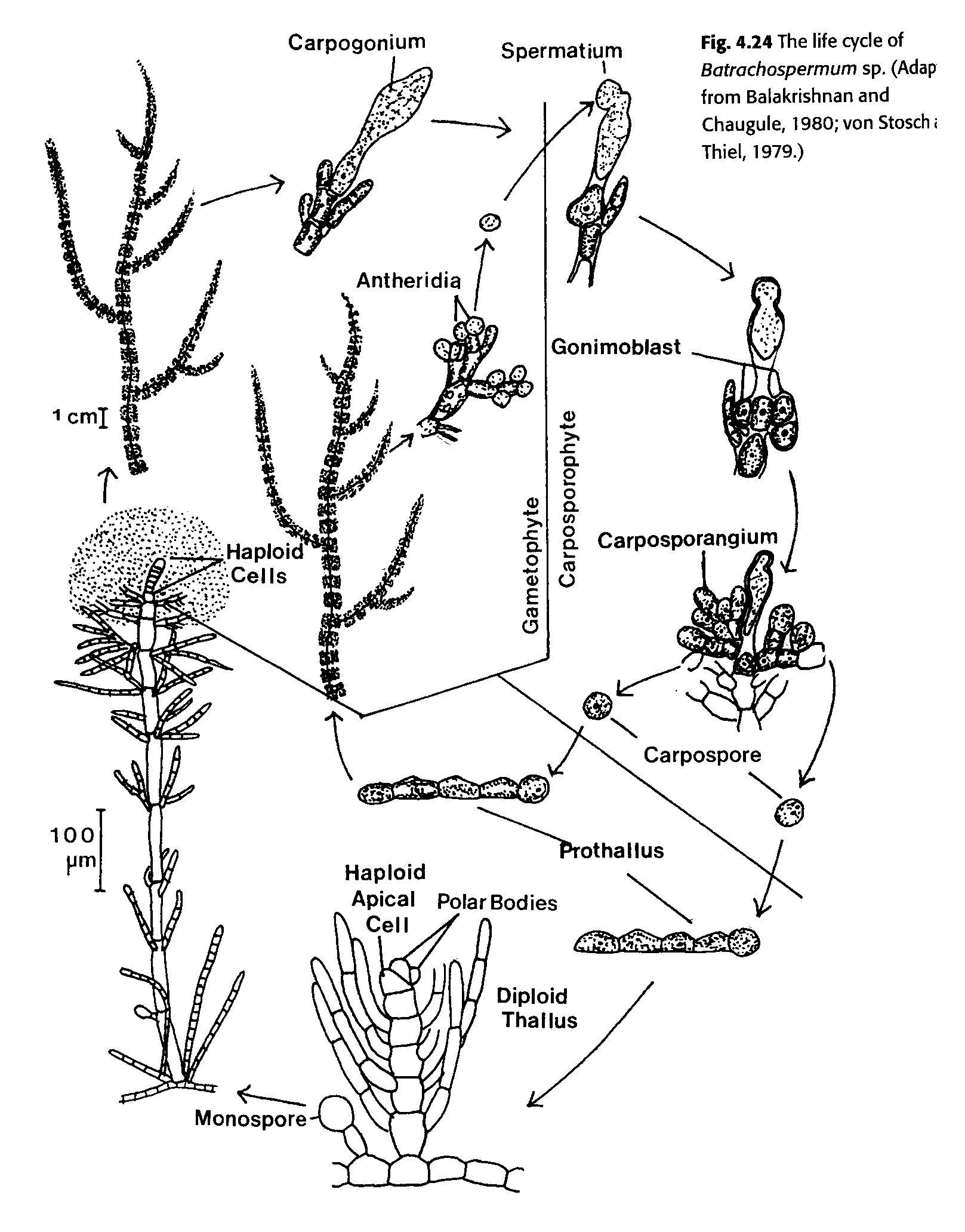 diatomeae narod ru pictures html oedogonium life cycle http diatomeae    Oedogonium Life Cycle