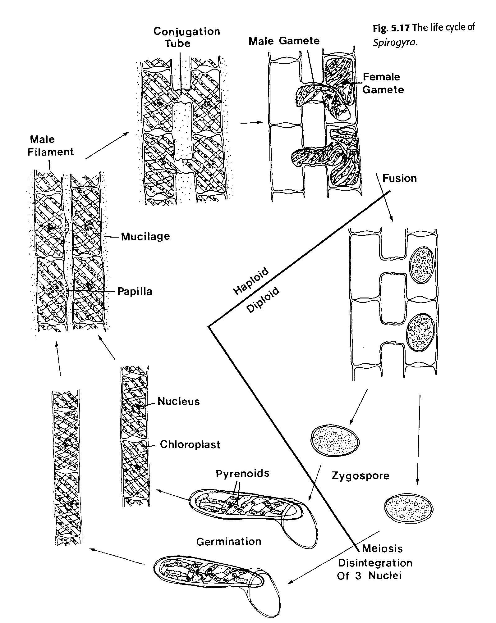 Image Gallery spirogyra reproduction