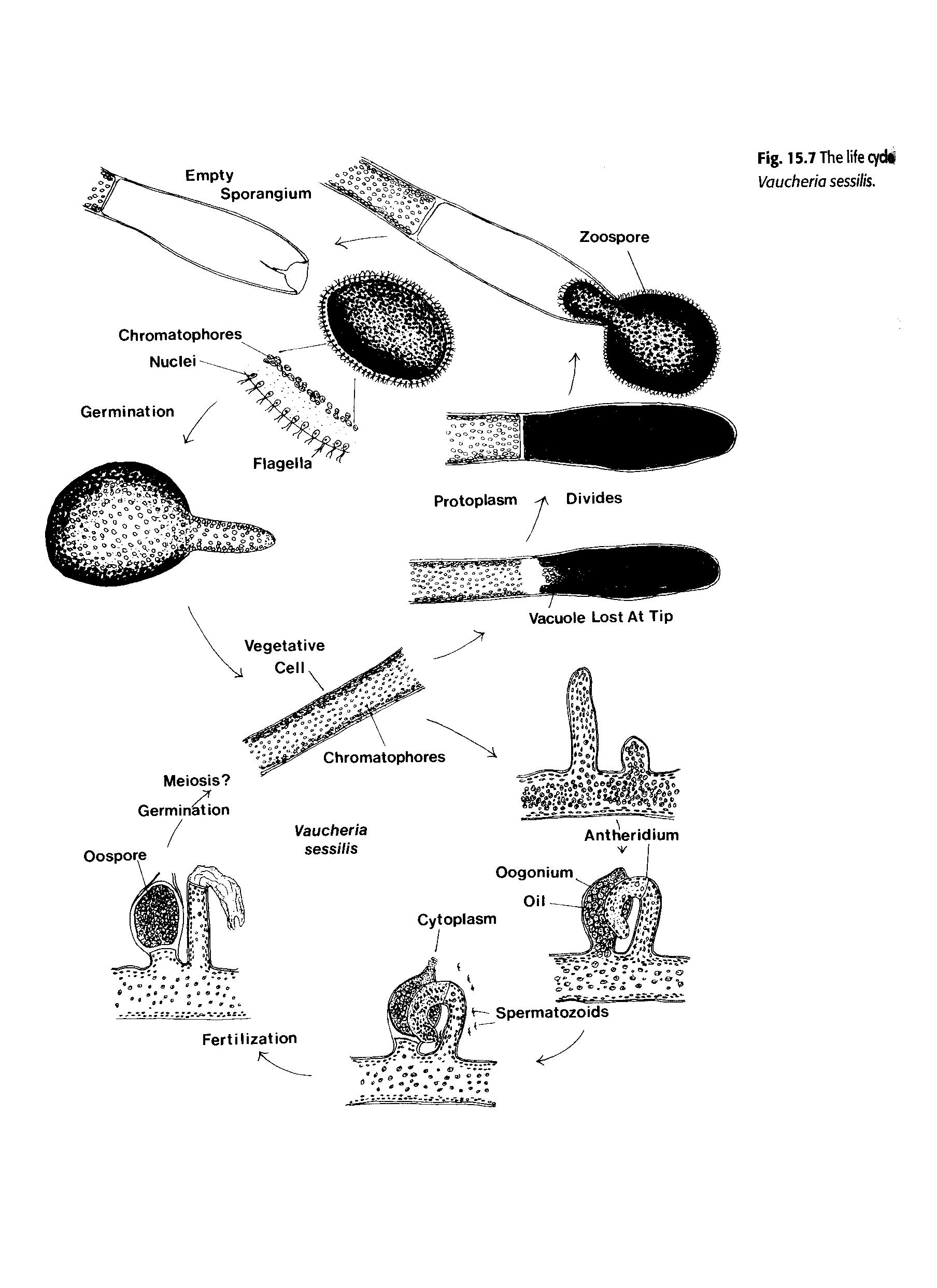 Vaucheria asexual reproduction definition